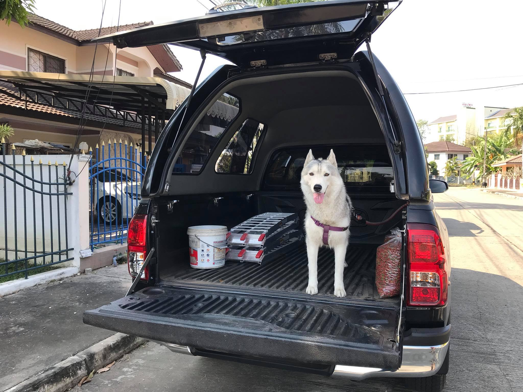 หมา ไซบีเรียน ฮัสกี้